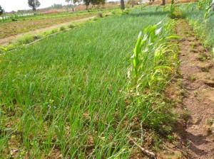 diobass-oignons-blog-300x224 dans Burkina Faso